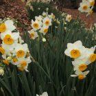 生きもの達の谷に水仙が咲いています。