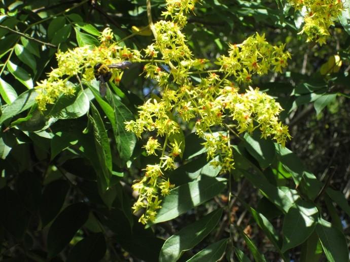 オオモクゲンジの花 (3)