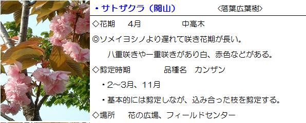 hanahiro-satozakura