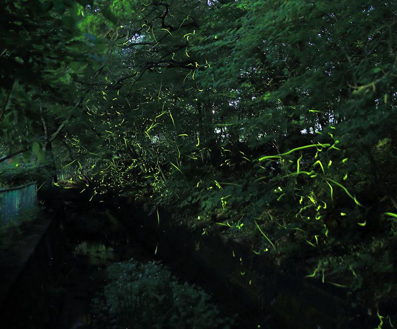 第11回 ふれあい百景フォトコンテスト小幡緑地 優秀賞『小幡緑地のホタル観賞』