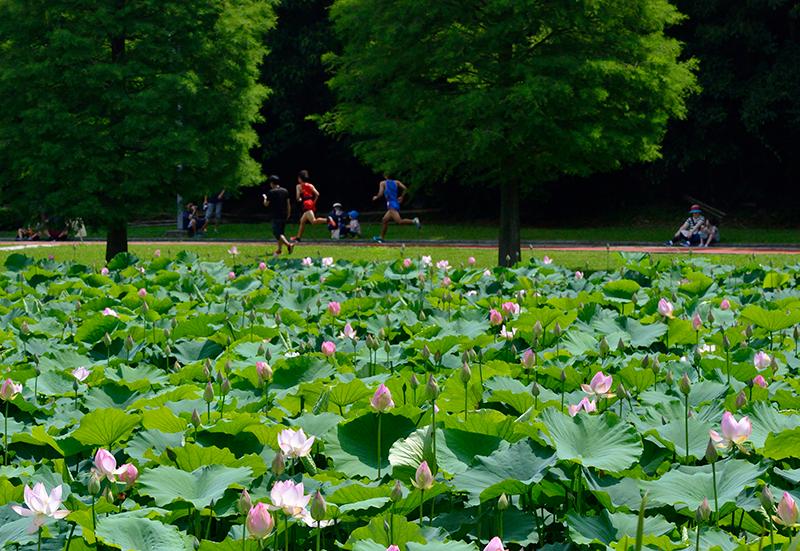 第11回 ふれあい百景フォトコンテストあいち健康の森公園 優秀賞『ハスの花の喝采』
