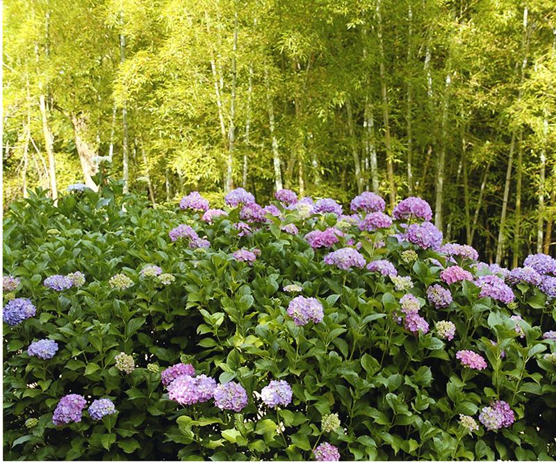 第11回 ふれあい百景フォトコンテスト牧野ヶ池緑地 入選『アジサイと竹林』