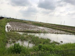 田んぼビオトープ(安城)